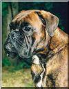Anton vom Kurler Busch Wurftag: 03.10.1999 Zuchtbuchnummer: 216194